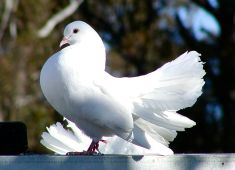 colomba-bianca