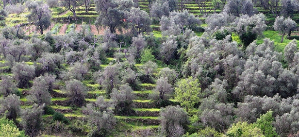 terrazzamenti con ulivi