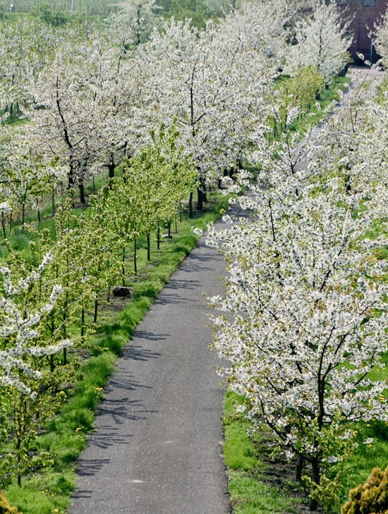 Altes land alberi fioriti